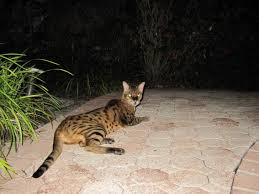 yabani-kedi-nasil-evcillestirilir